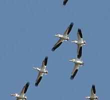 Pelicans in Flight by bozette
