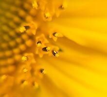 Sunflower closeup by Anna Calvert