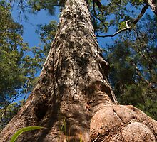Old Tinglewood Giant by danny5910