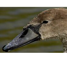 Portrait of A Cygnet Photographic Print