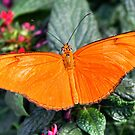 Julia Heliconian - Dryas iulia by Lepidoptera