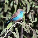Blue Waxbill by ten2eight