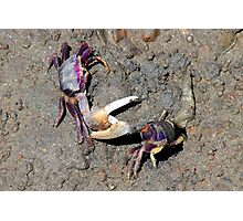 Dueling crabs Photographic Print