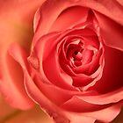 Soft Pink Rose 258 Views by daphsam