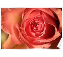 Soft Pink Rose 258 Views Poster