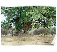 NYALA TREE - Xanthocercis zambesiaca (Njalaboom) Poster