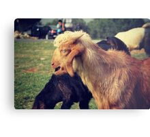 Blonde forelock baa Metal Print
