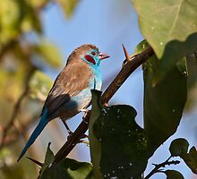 Red-cheeked Cordon-bleu by Shaun Whiteman