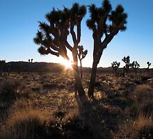 Joshua Trees  by Angel LaCanfora