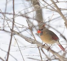 Female cardinal Feb. 2011 by mltrue