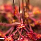Plant, Round-leaved Sundew, Drosera rotundifolia, Leaves and red glandular hairs by Hugh McKean