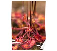 Plant, Round-leaved Sundew, Drosera rotundifolia, Leaves and red glandular hairs Poster