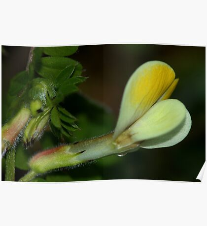 Vicia hybrida Poster