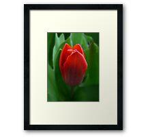 Dwarf Tulip Framed Print