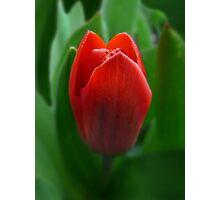 Dwarf Tulip Photographic Print