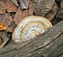 Shelf Fungus (Basidiomycota) on Log by MotherNature