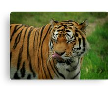 Licking His Lips, A Tigers Supper Canvas Print