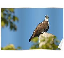 Osprey Watching Poster