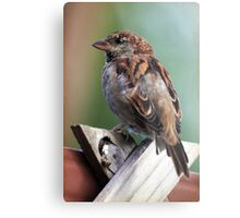 Little Brown Sparrow Metal Print