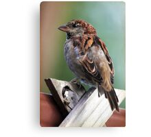 Little Brown Sparrow Canvas Print