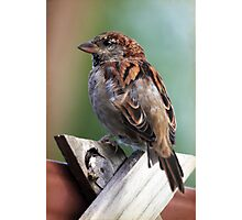 Little Brown Sparrow Photographic Print