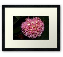 Pink Ball Tropical Hydrangea Framed Print
