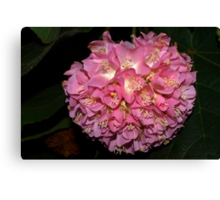 Pink Ball Tropical Hydrangea Canvas Print