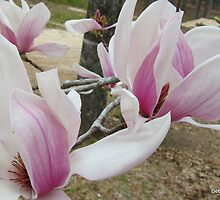 Oh So Pretty in Mississippi ~ Tulip Magnolia by Debbie Robbins