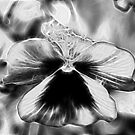 Pansy Fractalius by Barbara Anderson