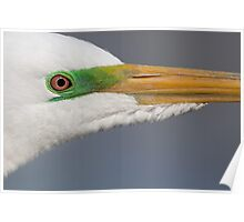 Great Egret in breeding colours. Poster