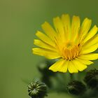 Yellow flower by BCkat