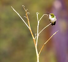 { andean green hummingbird } by Brooke Reynolds