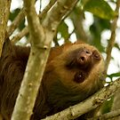 { two-toed sloth } by Brooke Reynolds