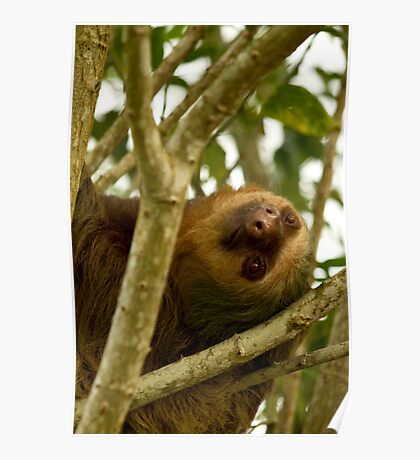{ two-toed sloth } Poster