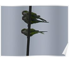 Birds on a Wire - Monk Parakeets Poster