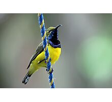 Yellow-bellied Sunbird(Male Photographic Print