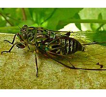 Cicada - Sounds of Summer No 1 Photographic Print
