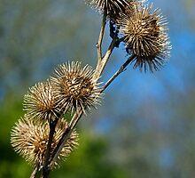 Burdock Seed-Heads  by Susie Peek
