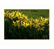 Daffodils. Art Print