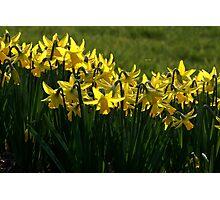 Daffodils. Photographic Print