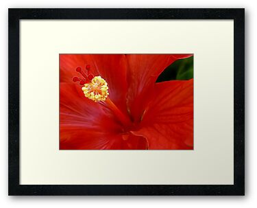 The Reddest Red is Hibiscus Red by paintingsheep