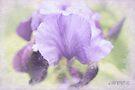 Purple beauty by aMOONy