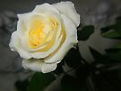 yellow rose in hues by LisaBeth