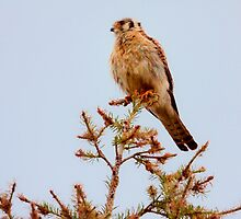 AMERICAN KESTREL ( 2) by Sandy Stewart