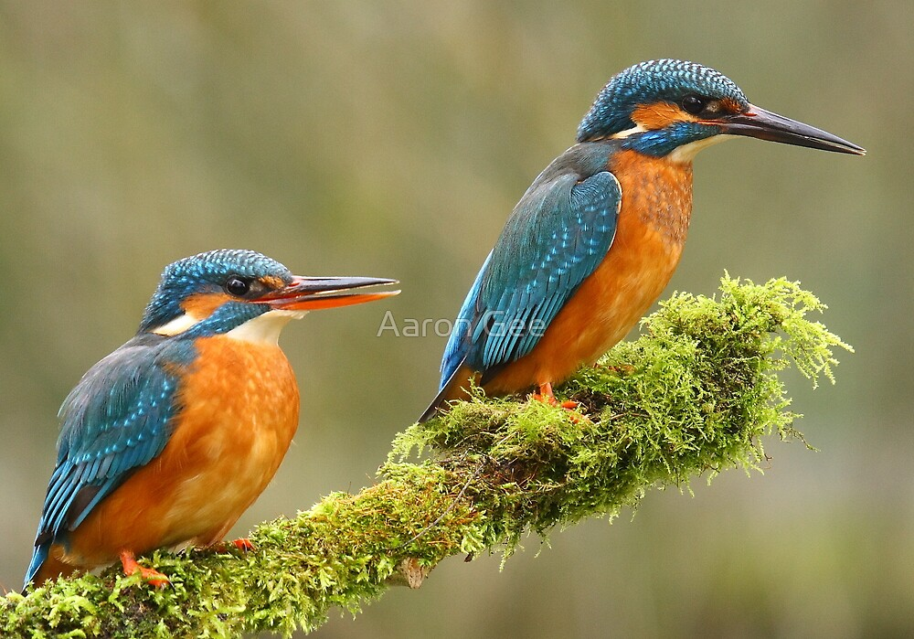 Mr & Mrs Kingfisher by Aaron Gee