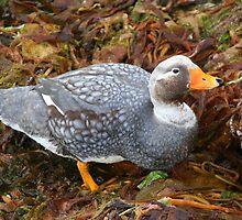 Falkland flightless steamer duck by Laurel Talabere