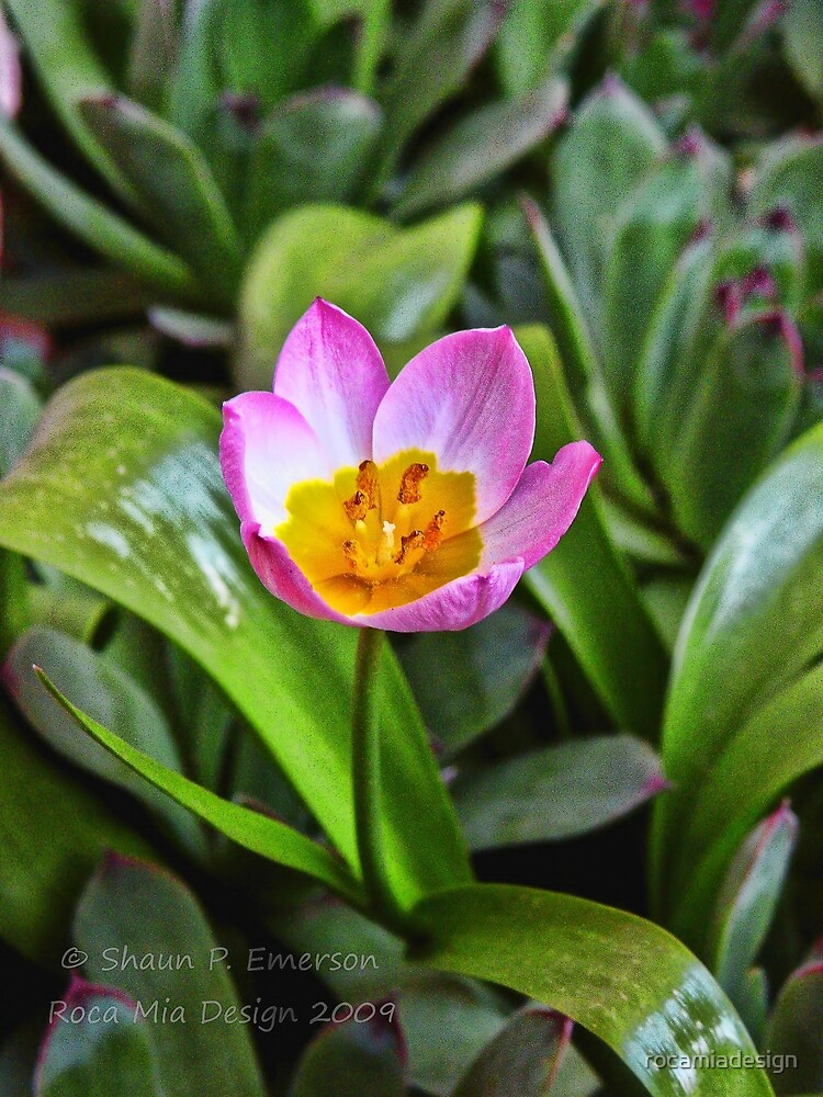 Tiny Tulip by rocamiadesign