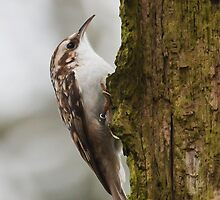 Tree Creeper by Peter Stone