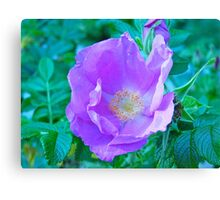 Beach Rose, Acadia National Park, ME Canvas Print