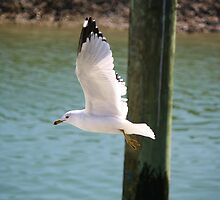 Sea Gull in Murrells Inlet by Paulette1021